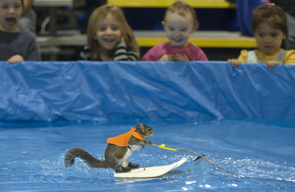 Белки катаются на водных лыжах