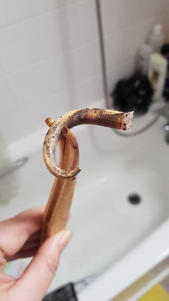 Как выглядит отброшенный гекконом хвост