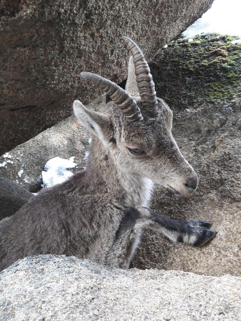 Горный козел застрял рогами между скалами и повис над расщелиной