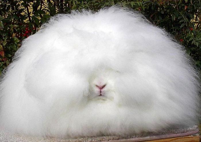 Ангорские кролики - рекордсмены пушистости