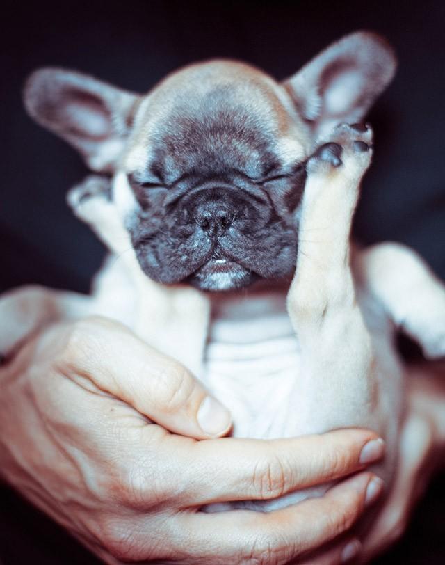 Максимально милые щенки бульдогов