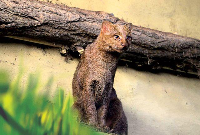 Ягуарунди - необычная кошка из Америки