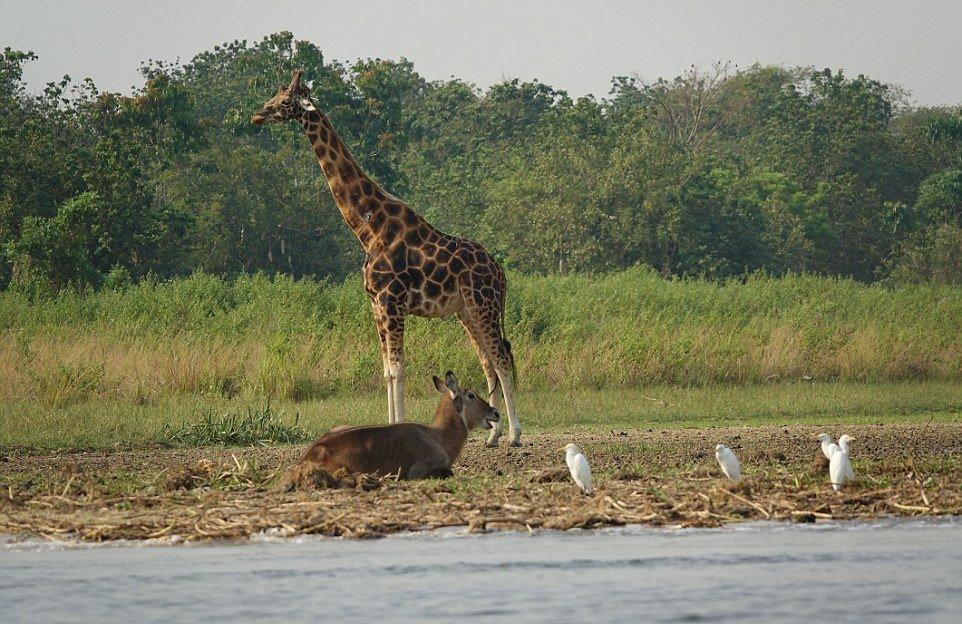 Бегемот спас водяного козла от крокодила