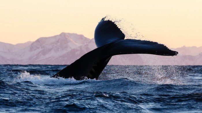 Stunning photos of whales and killer whales off the coast of Norway