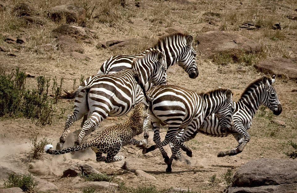 Леопард упустил антилопу и чуть не получил по зубам от зебры