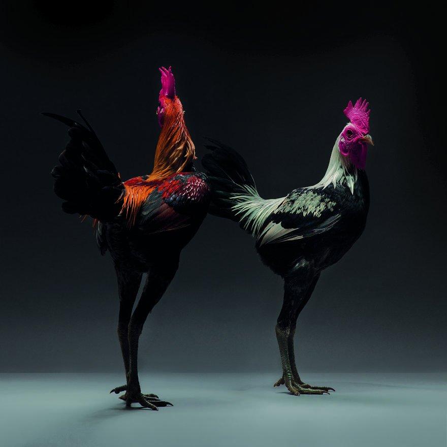 Красота куриц и петухов от итальянских фотографов