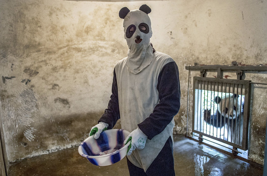 Панды и их няньки из заповедника Чэнду в Китае