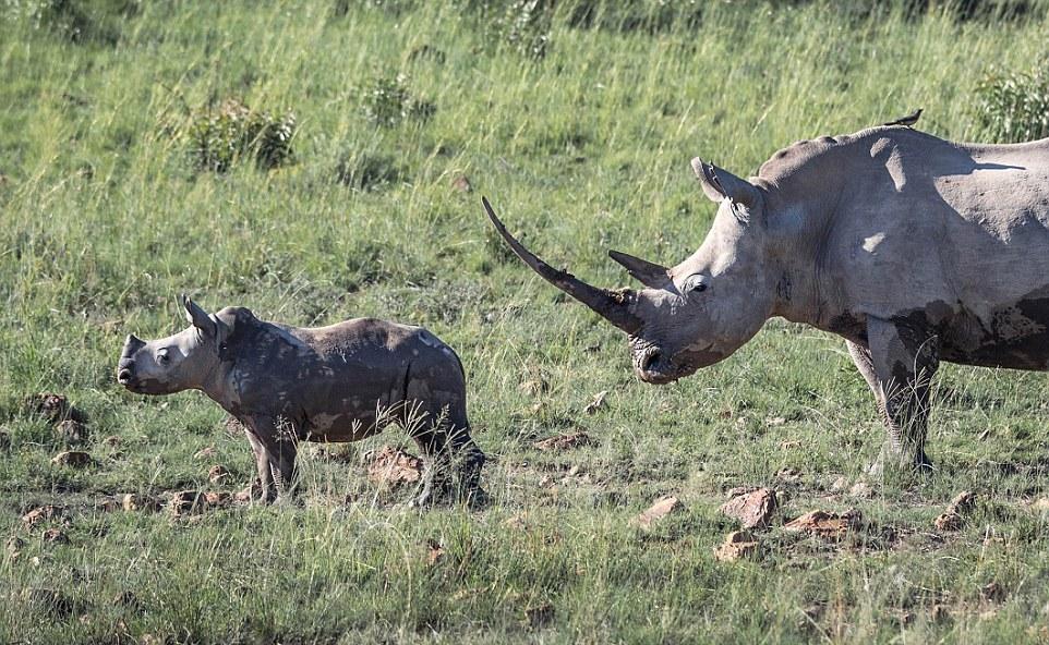 Самка носорога разогнала стадо слонов, которое подошло к ее малышу