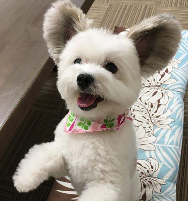 Пес обрел славу благодаря своим необычным ушам