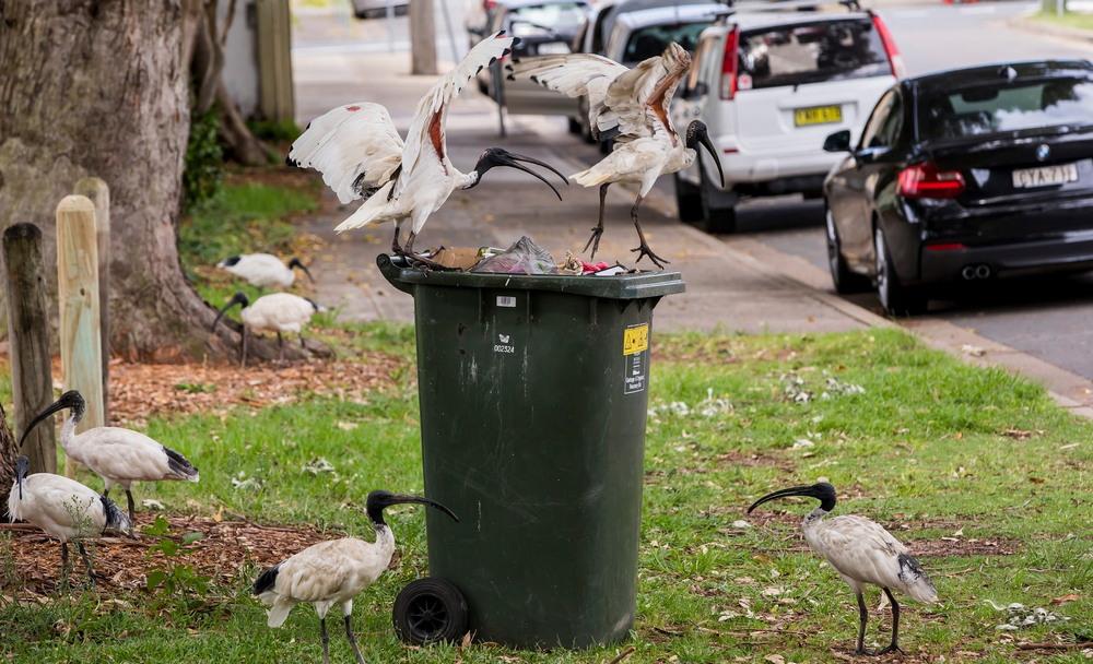 Белые ибисы в городах Австралии