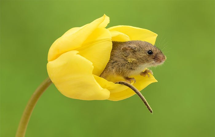 Мыши-малютки внутри тюльпанов от Майлса Херберта