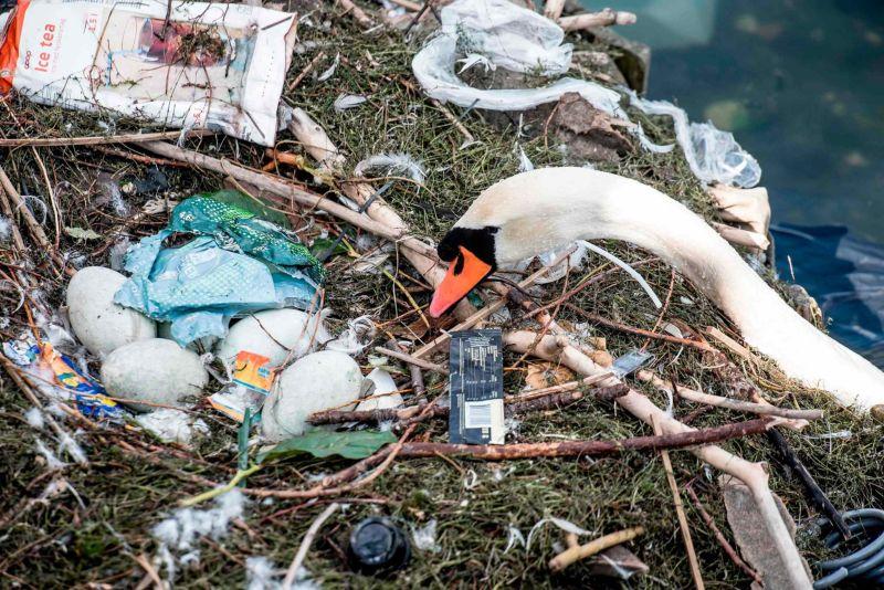Самка лебедя свила гнездо из мусора и отложила в него яйца