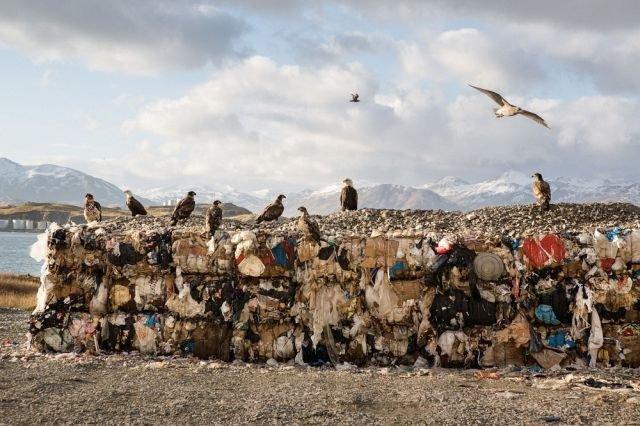 Белоголовые орланы - бич города Уналашка на Аляске