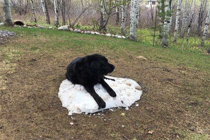 Как лабрадор прощался с кучей снега