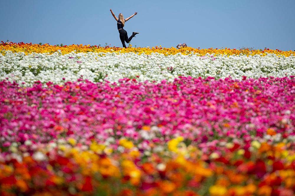 Цветочные поля в городе Карлсбад