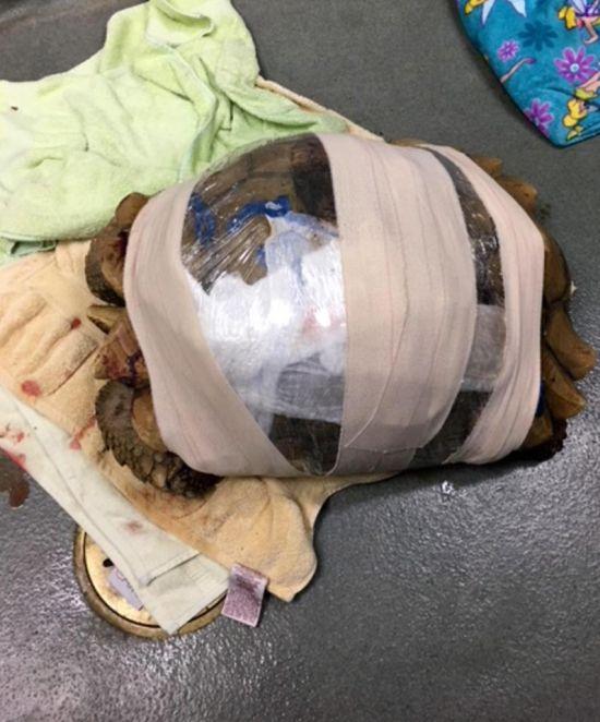 Спасение черепахи с треснувшим панцирем