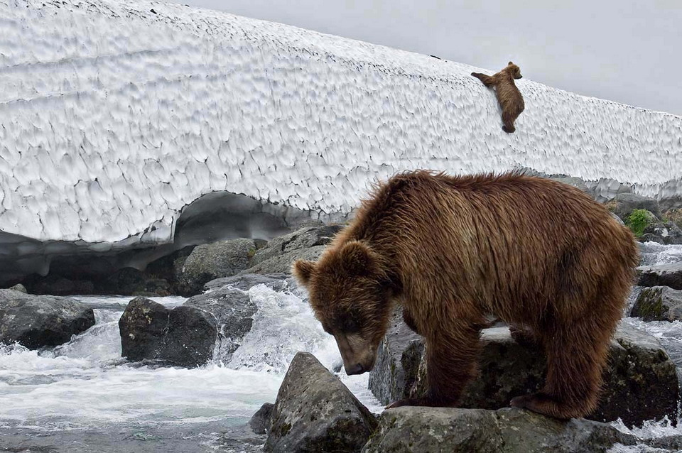 Красота бурых медведей Камчатки