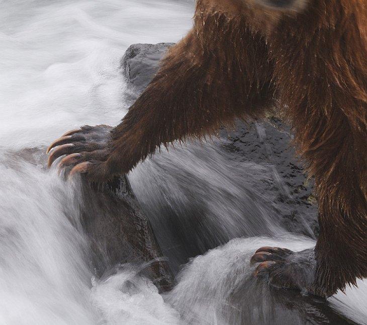 О медвежьих лапах