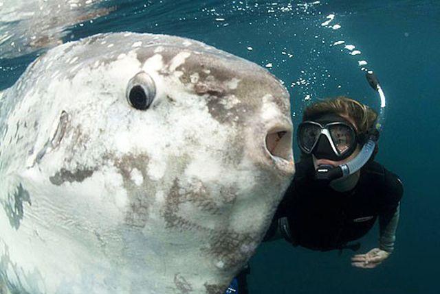 Медленная и неповоротливая луна-рыба, которой не грозит вымирание
