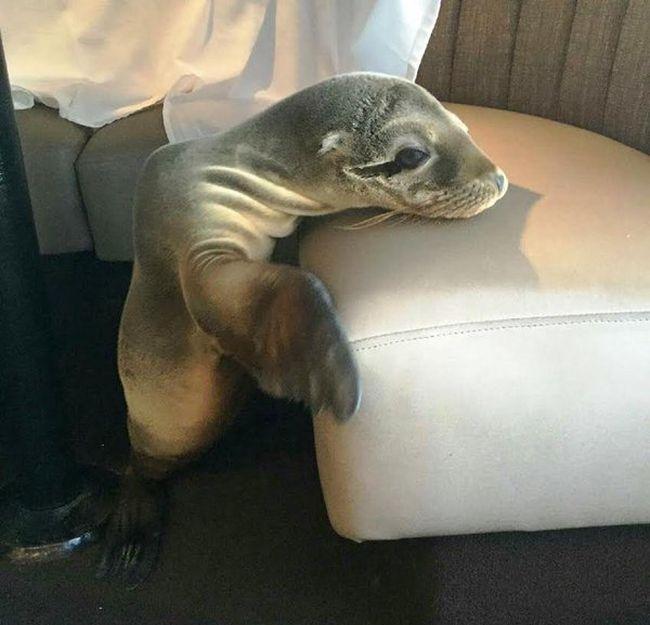 Морской лев отобедал в одном их ресторанов города Сан-Диего