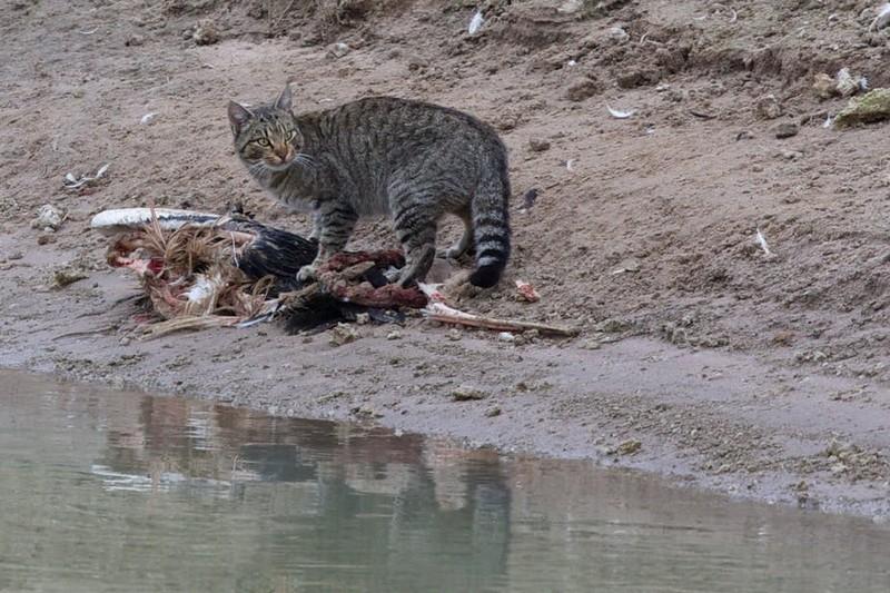 Зачем австралийцам забор против кошек