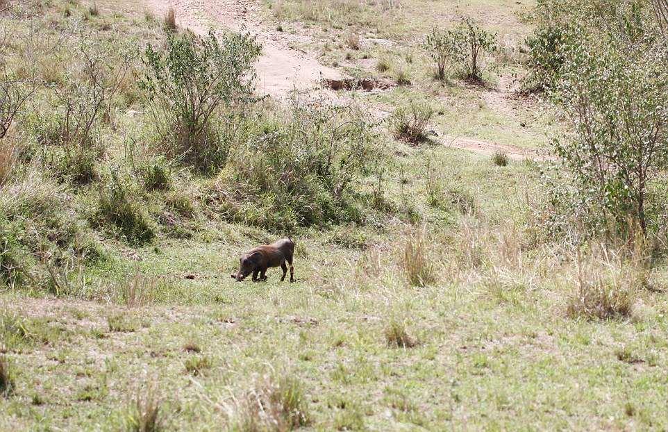 Кадры охоты беременной самки леопарда на бородавочника