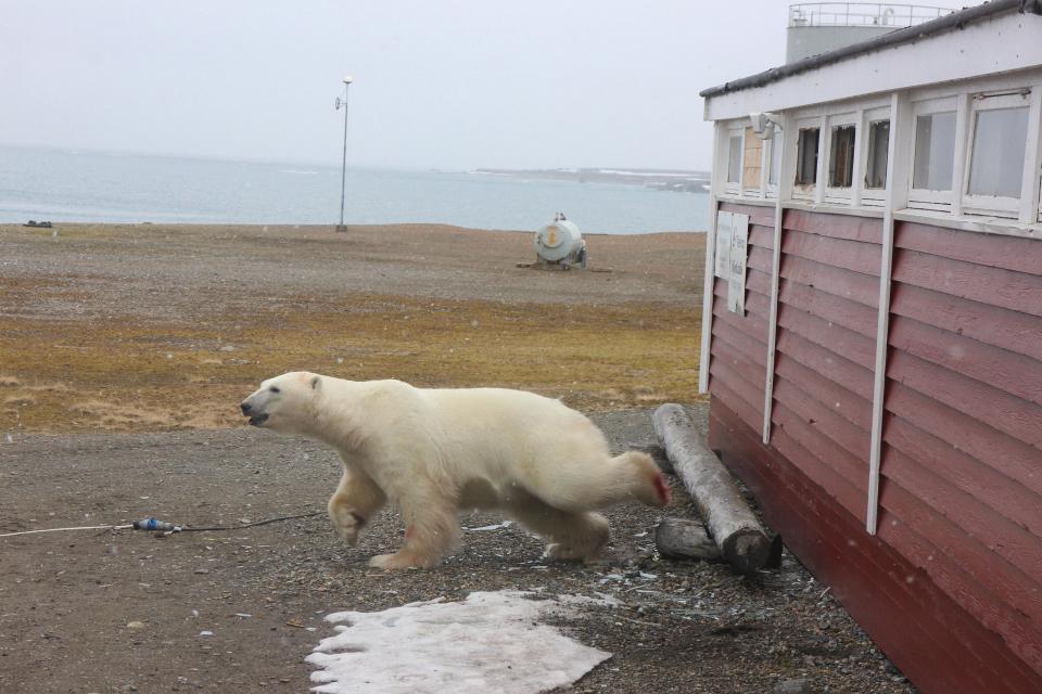 Полярный медведь наведался в подсобку гостиницы в Норвегии
