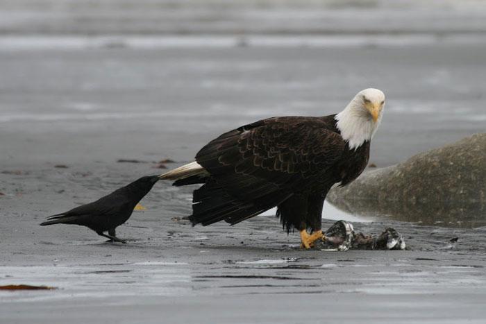 Вороны дергают за хвосты других животных