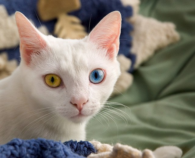Милые кошки с нарушением пигментации глаз