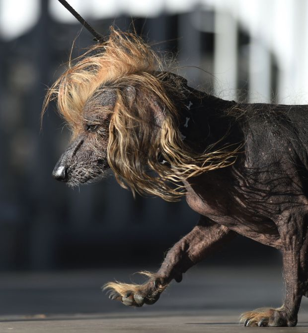 Самой уродливой собакой в мире в 2018 году стал английский бульдог