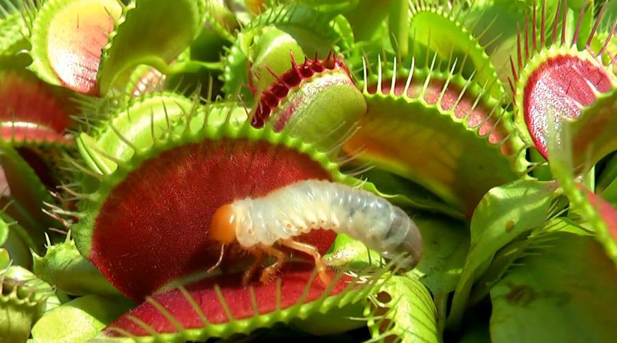 Хищные растения, которые могут есть животных