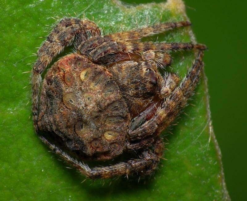 Охватывающие пауки Dolophones из Австралии