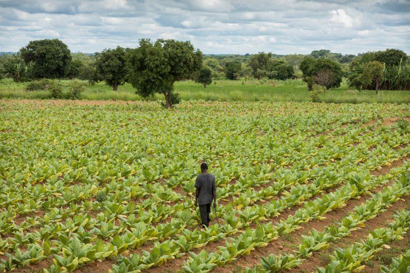 Табачные фермы в Малави, где пашут все