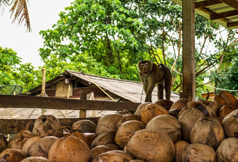 Обезьяны вместо сторожевых собак в Таиланде