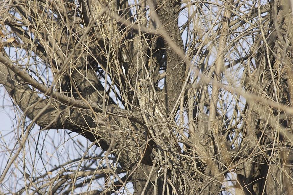 Искусство камуфляжа у совы