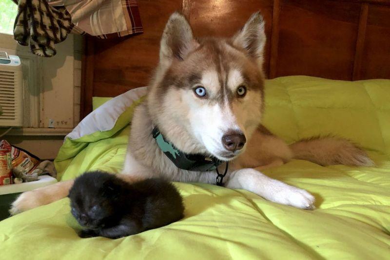 Хаски спасла брошенных в лесу котят и заменила им мать