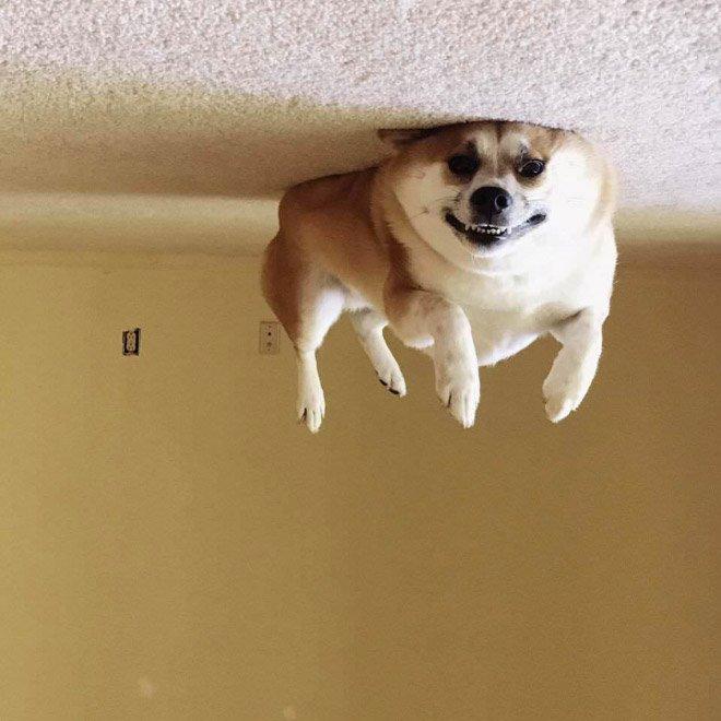 Собаки парят над потолком