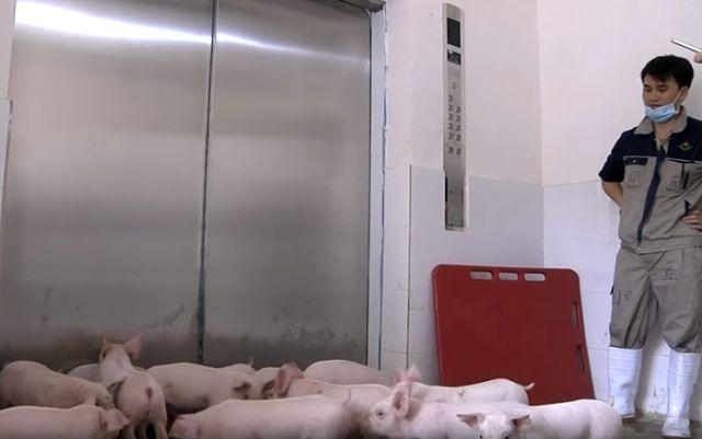 Многоэтажные свинофермы в Китае
