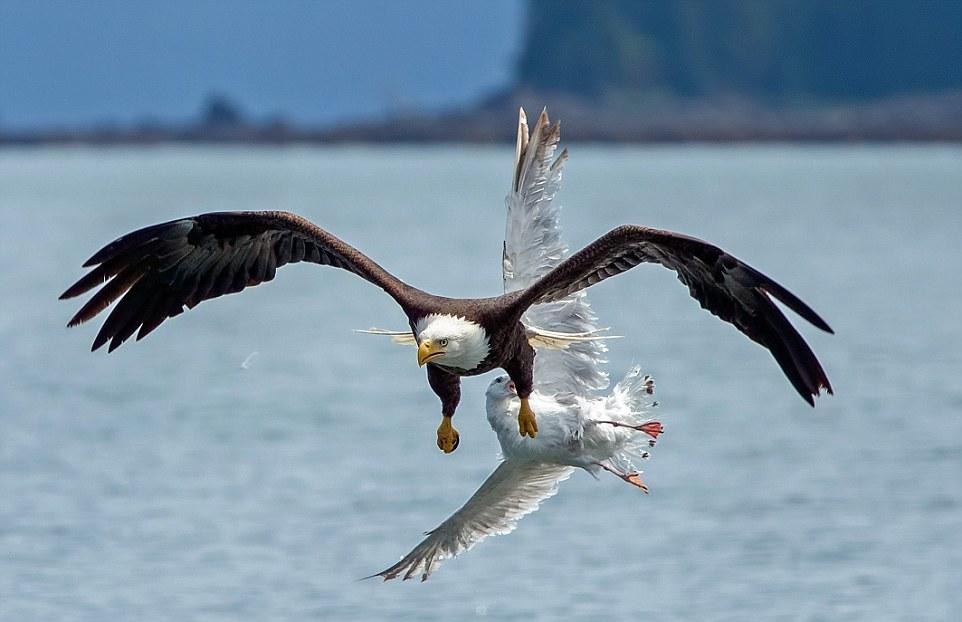 Чайка охотилась на рыбу, когда ее внезапно сцапал орлан