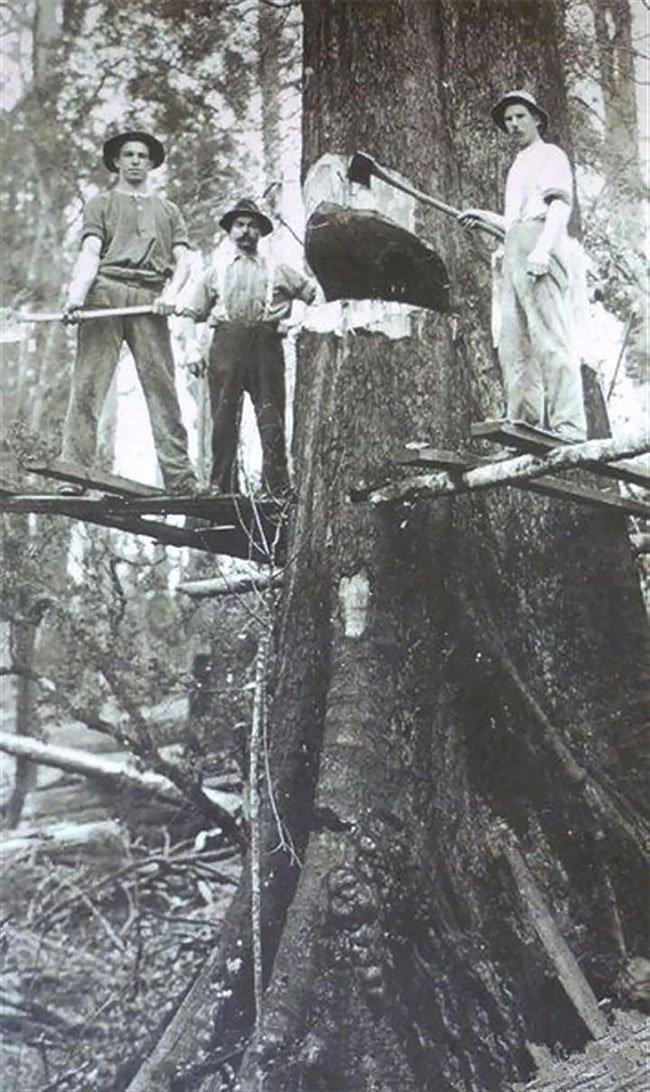 Дровосеки начала XX-го века на фоне спиленных гигантов