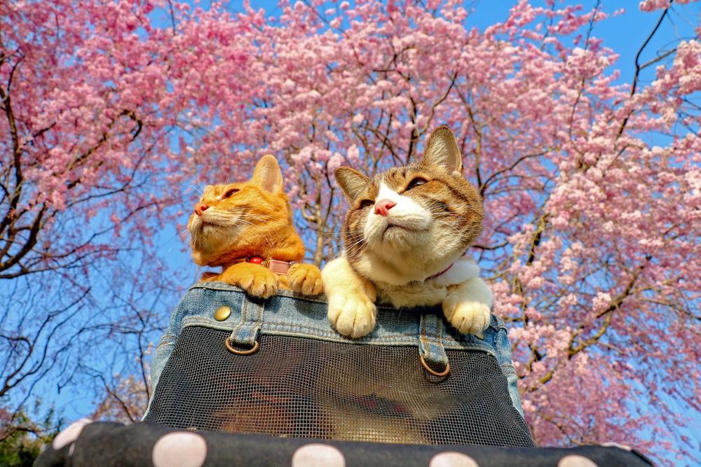 Две кошки-путешественницы из Японии