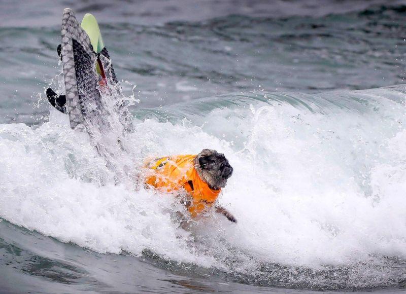 Конкурс собак-серфингистов в Сан-Диего