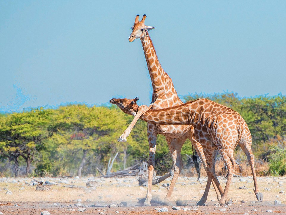 Битва двух жирафов в Намибии