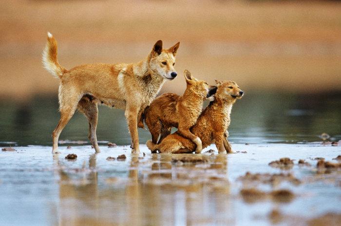 Дикие собаки из разных уголков нашей планеты