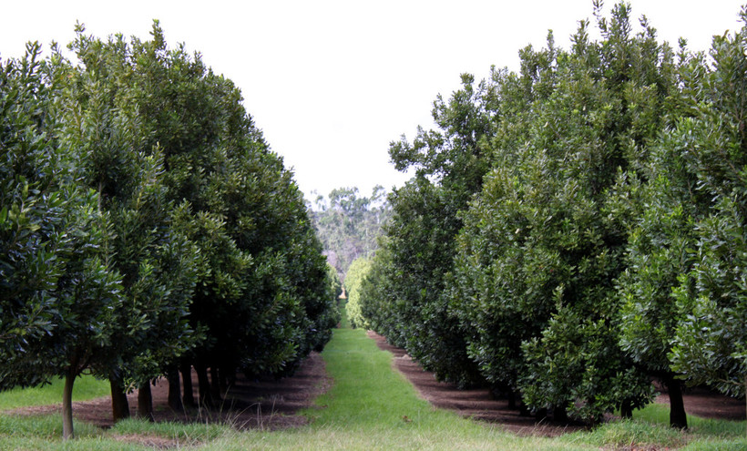 Макадамия - самый дорогой и вкусный орех в мире