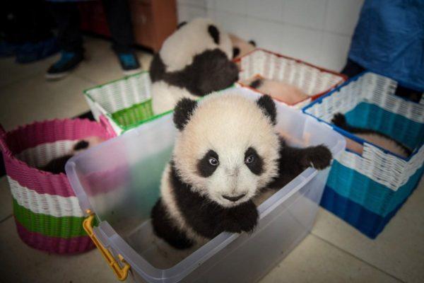 Невероятно милое и удивительно интересное животное, или кто же выступает Драгоценностью Китая?