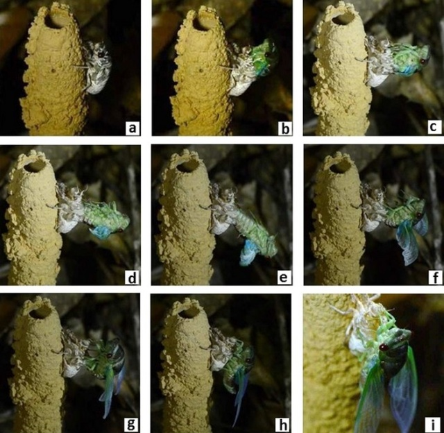 Амазонские цикады строят необычные сооружения