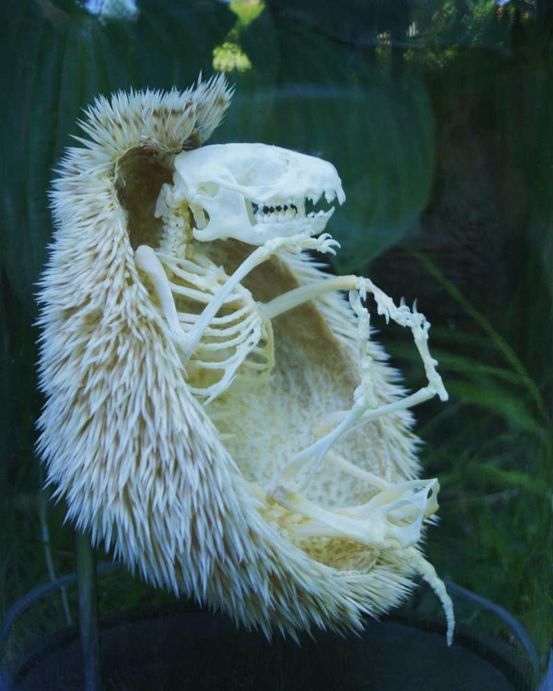 Скелет ежа с иголками