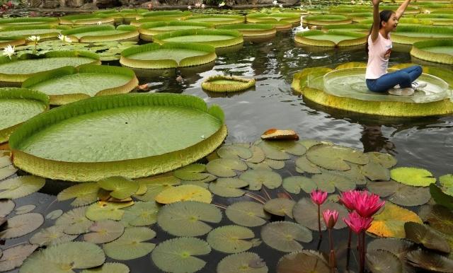 Листья водяной лилии, на которых можно фотографироваться