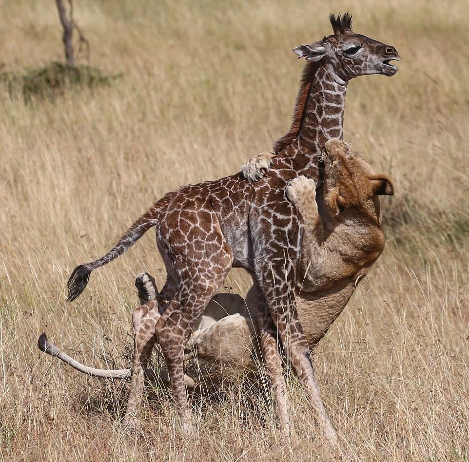 Прайд львов напал на самку жирафа с теленком